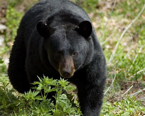 Black bear herbal picture 3