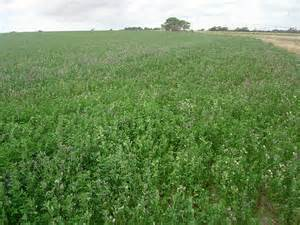 colorado alfalfa growers picture 11