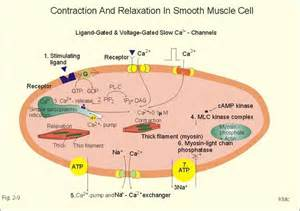 contraction of breast smooth muscle results in: picture 1
