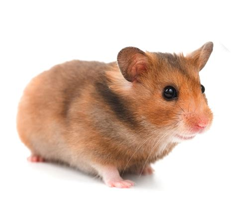 hamster videos picture 17