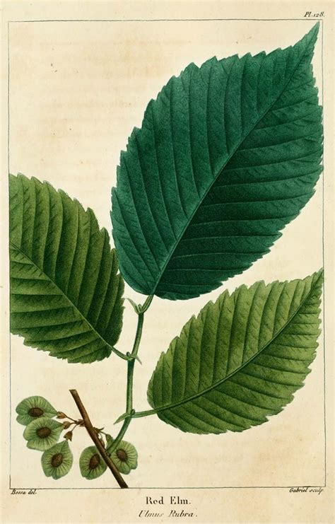 slippery elm tree picture 5