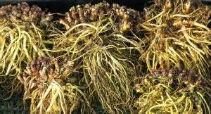 african herbs picture 14