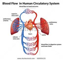 blood flow in humans picture 10