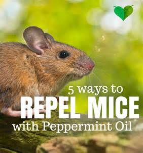 peppermint oil and mice picture 1