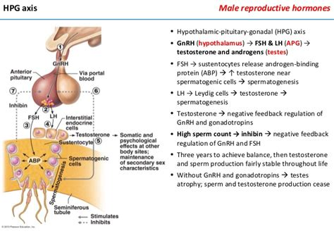 testosterone production cholesterol picture 3
