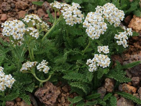 care of yarrow picture 3