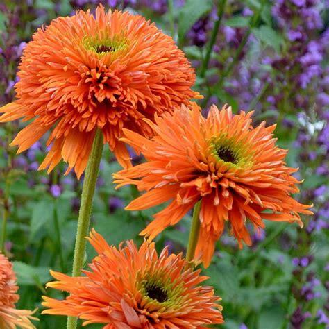 echinacea orange picture 6