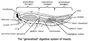 chelicerata digestion picture 10