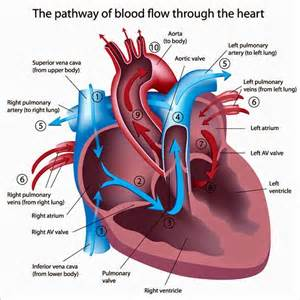 blood flow to h picture 3