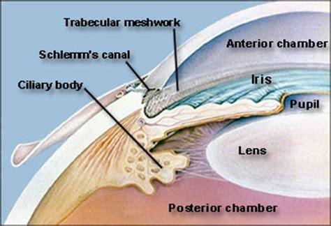 function of the ciliary muscle picture 6