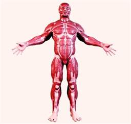 human muscle structure picture 3