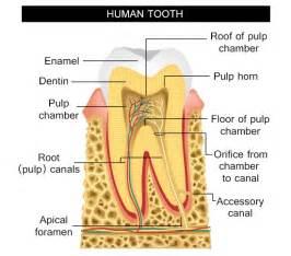 diagram of teeth picture 13