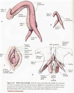 illustration where a penis must touch inside the vagina picture 9