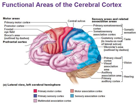 cerebral blood flow motor cortex picture 1