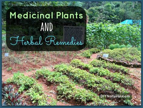 natural herbal plants remedy for singaw picture 7