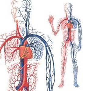 blood vessel circulation picture 13