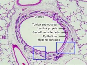 bronchial smooth muscle picture 18