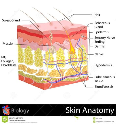 free illustrations of human skin picture 9