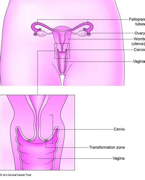 diagram of small penis ina vagina picture 7