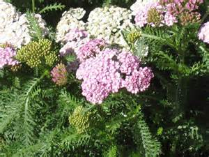 where should yarrow flower be planted picture 1