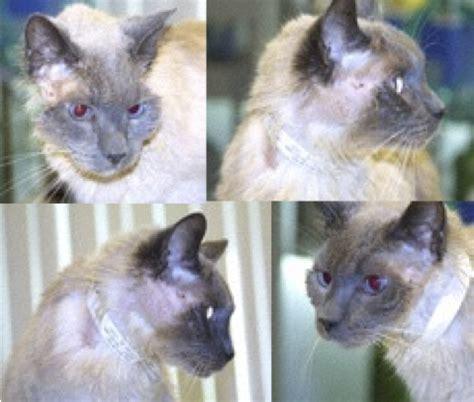 feline hyperthyroidism medications hair loss picture 14