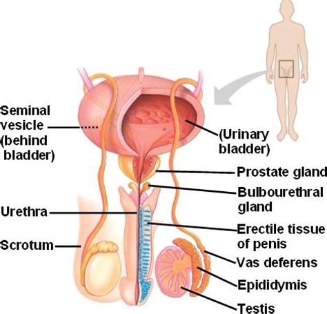 What is a prostate gland picture 1