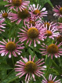 echinacea all that jazz picture 3
