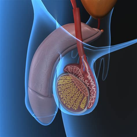 pictures of human healthy penis picture 9