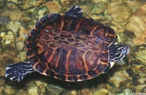 diet of the river cooter turtles picture 13