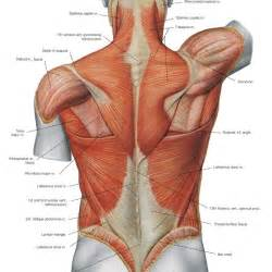 chest muscle at picture 10