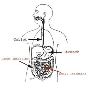 digestion system picture 7