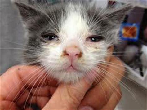 feline herpes picture 10