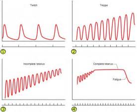 cardiac muscle and wave summation picture 2