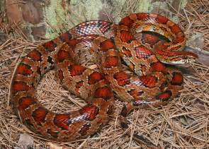 loss of appee in corn snakes picture 15