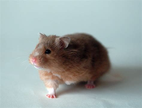 hamster videos picture 11