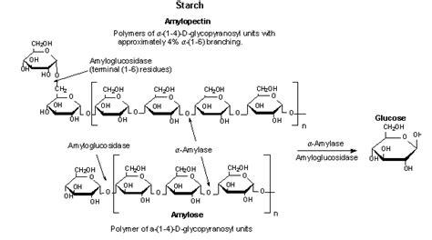 alpha amylase amylose digestion picture 3