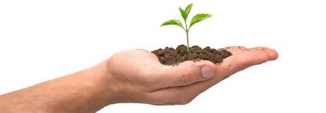 plantain tree care picture 9