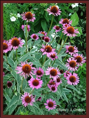 prairie frost echinacea picture 6