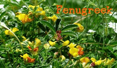 fenugreek trigonella foenum graecum to lower cholesterol picture 10