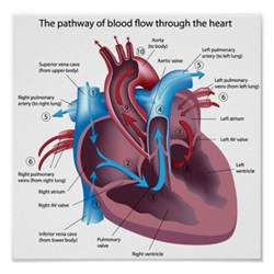 picture blood flow heart picture 3