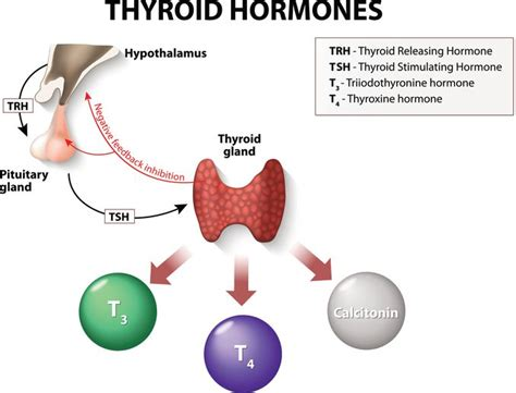 what is tsh thyroid stimulating hormone picture 2