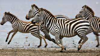 how are zebras h different to human h picture 15