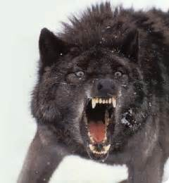 wolf teeth picture 3