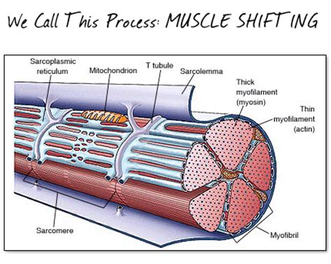 what muscle fibers burn fat picture 11