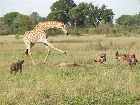 giraffe erect penis pictures picture 1