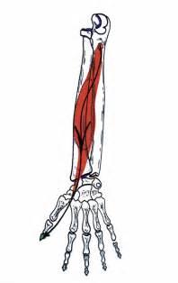 flexor pollicis longus muscle picture 5
