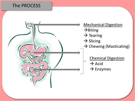 what chemical reaction is involved in digestion picture 15