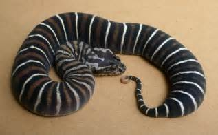 loss of appee in corn snakes picture 12