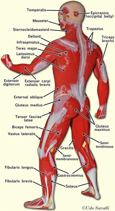 anatomy - muscle man kikkerland picture 9