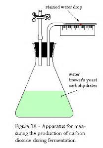 yeast: how does the amount of carbon dioxide picture 5
